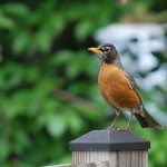Robin perched on fence