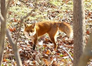 A fox in Loftridge