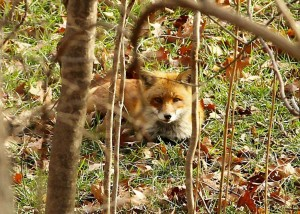 A fox in Loftridge
